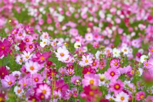 8 easy flowers to grow for beginner gardeners to grow