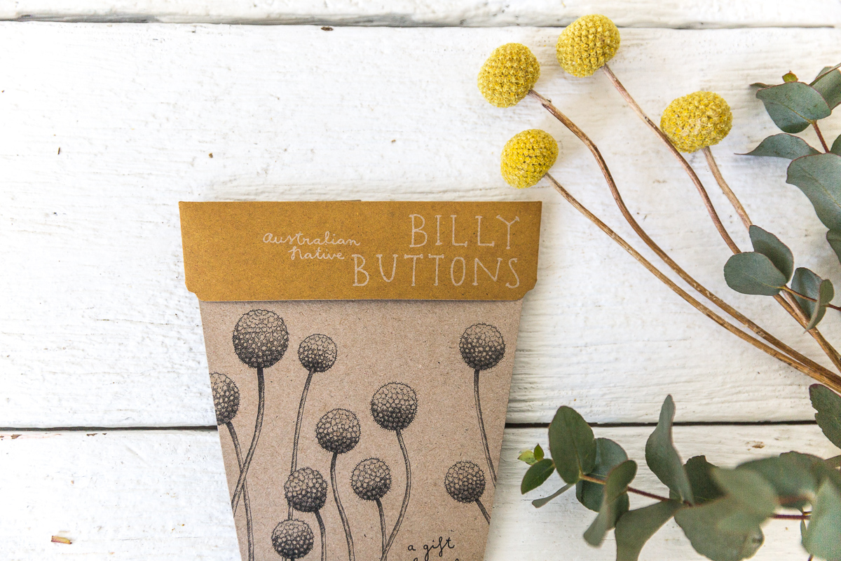 How to grow billy buttons from seed