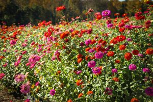 Sow zinnia seeds in spring